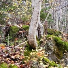 Arbres sur roche
