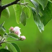 Fleur de pommier - Photo Marie-Laure Leymonie