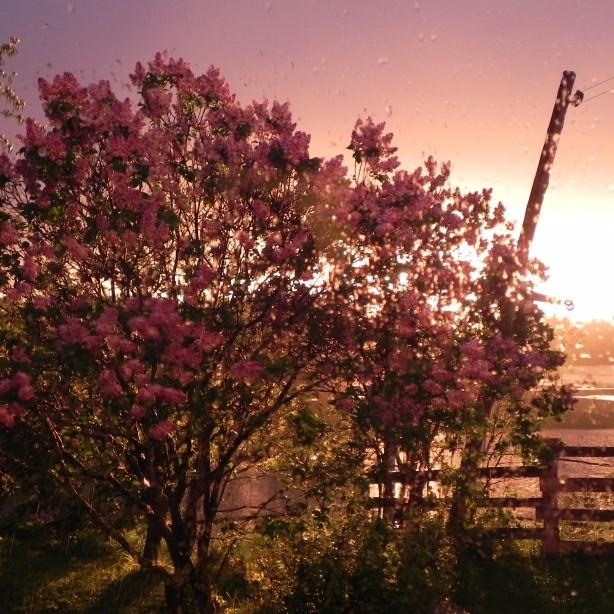 Lilas au soleil couchant
