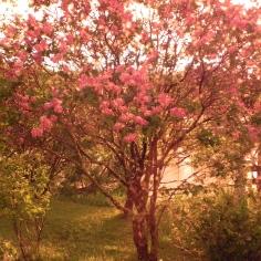 Lilas flamboyant